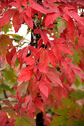 Paperbark Maple (Acer griseum) at New Garden Landscaping & Nursery