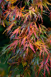 Cutleaf Japanese Maple (Acer palmatum 'Dissectum') at New Garden Landscaping & Nursery