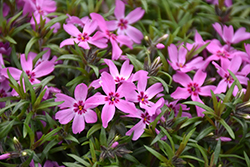 Crimson Beauty Moss Phlox (Phlox subulata 'Crimson Beauty') at New Garden Landscaping & Nursery