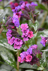 Silver Bouquet Lungwort (Pulmonaria 'Silver Bouquet') at New Garden Landscaping & Nursery