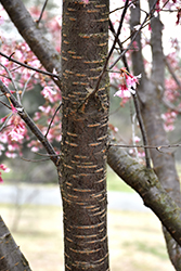 Autumnalis Higan Cherry (Prunus subhirtella 'Autumnalis') at New Garden Landscaping & Nursery