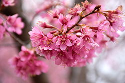 First Lady Flowering Cherry (Prunus 'First Lady') at New Garden Landscaping & Nursery