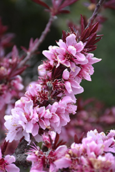 Bonfire Dwarf Ornamental Peach (Prunus persica 'Bonfire') at New Garden Landscaping & Nursery