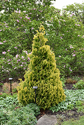 Gold Drop Arborvitae (Thuja occidentalis 'Gold Drop') at New Garden Landscaping & Nursery